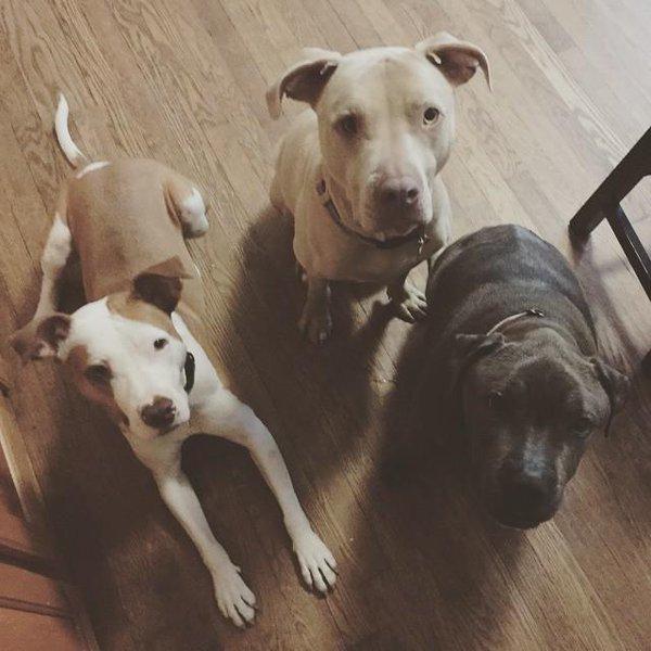 discriminan-pitbull6