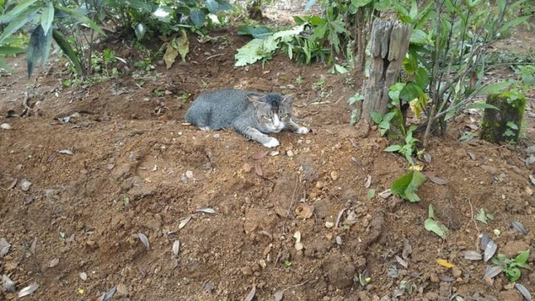 Undated photo of a cat guarding the grave of her late owner. The site has now been decorated witha blue tile grave and the cat continues to guard the site. See SWNS story SWCAT; This grieving cat misses her late owner so much she has spent a YEAR living at her GRAVE. The heartbroken moggy was first heard crying while lying in the earth at the burial plot in Central Java, Indonesia. Passer-by Keli Keningau Prayitno, 28, tried to adopt the kitty but it returned to the same spot - cuddling the small blue headstone. Remarkably, the cat walks every day to her former home where she is fed by the old lady's children - then returns to the grave.