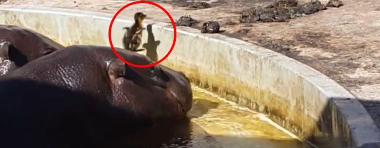 hipopotamo-ayuda-a-pato-perdido