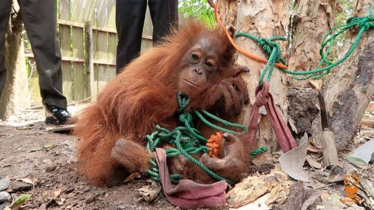 orangutan-rawit-1