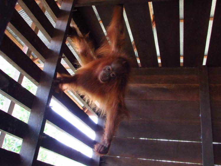 orangutan-rawit-10