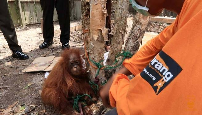 orangutan-rawit-2