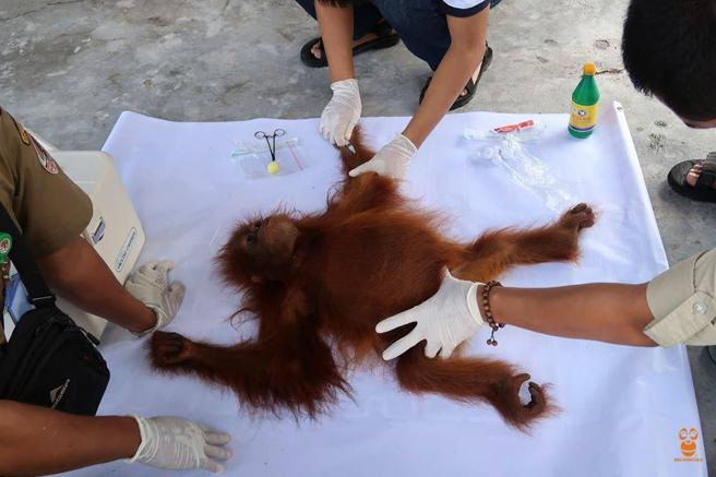 orangutan-rawit-3
