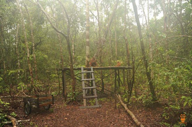 orangutan-rawit-4