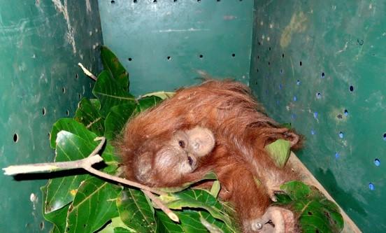 orangutan-rawit-8