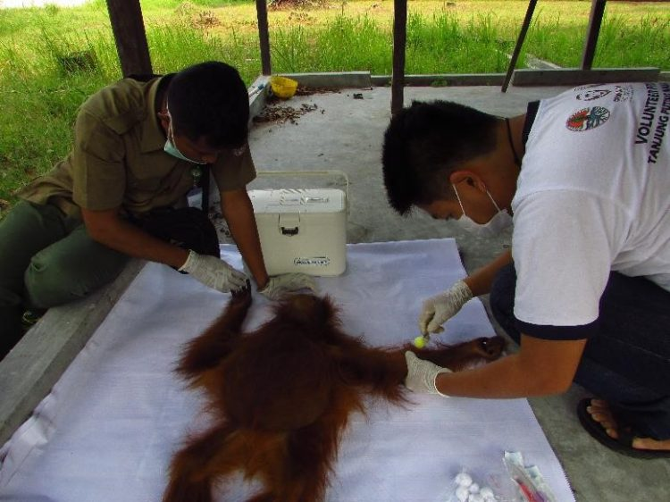 orangutan-rawit-9