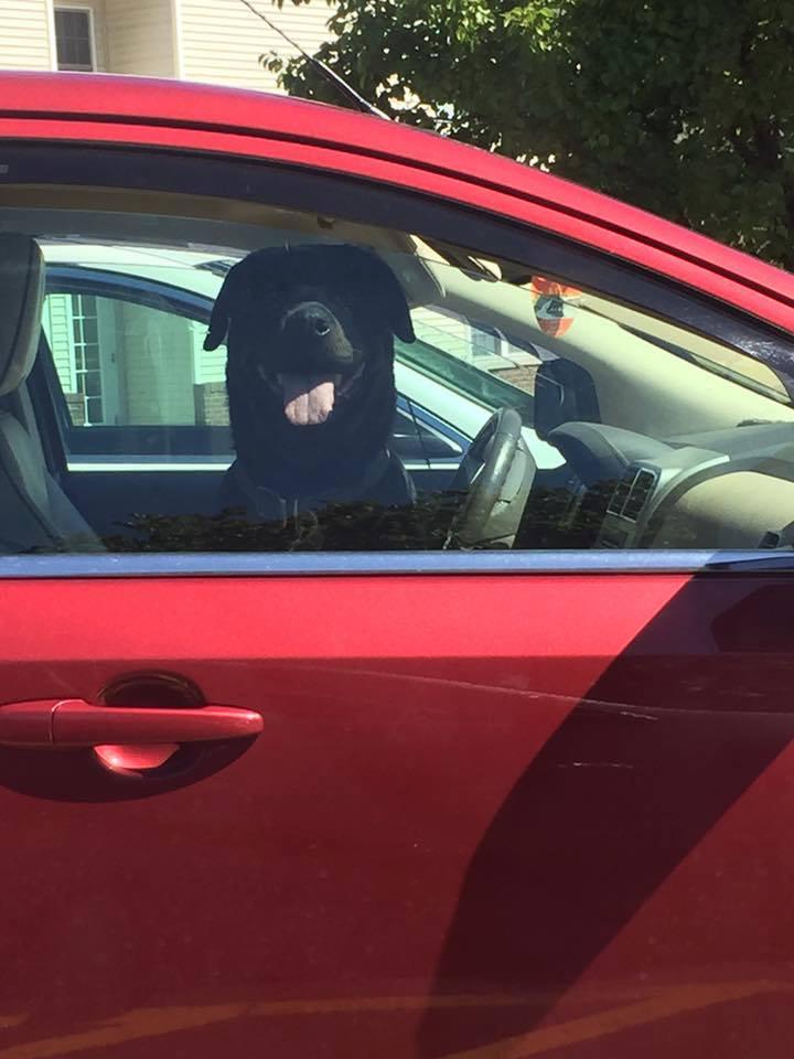 perro-carro1
