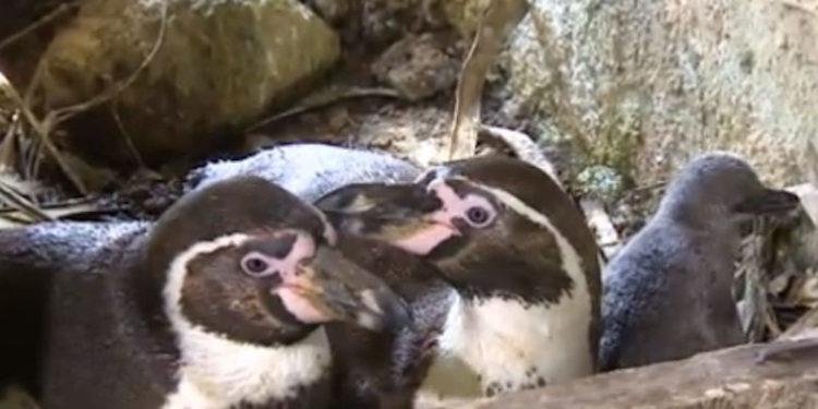 pinguinos-gays-aniversario-1