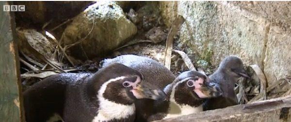 pinguinos-gays-aniversario-3