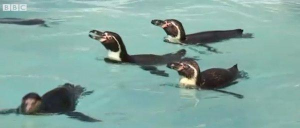 pinguinos-gays-aniversario-4