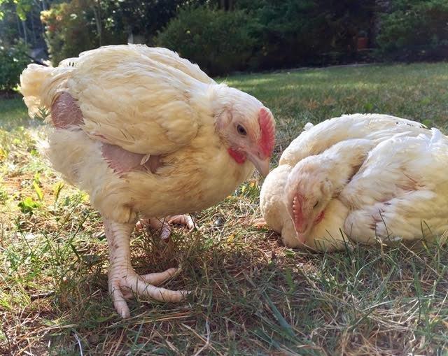 pollo-estaba-a-punto-de-ser-sacrificado-1