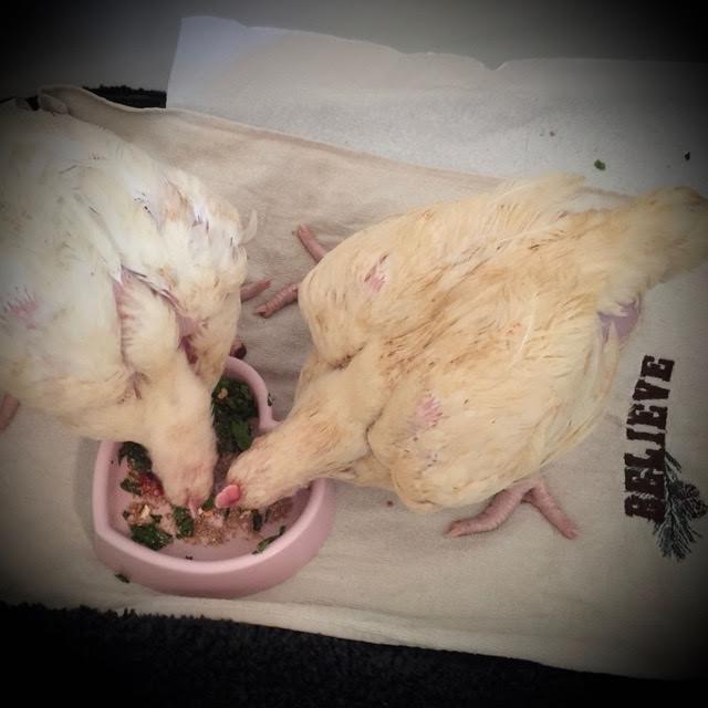 pollo-estaba-a-punto-de-ser-sacrificado-3