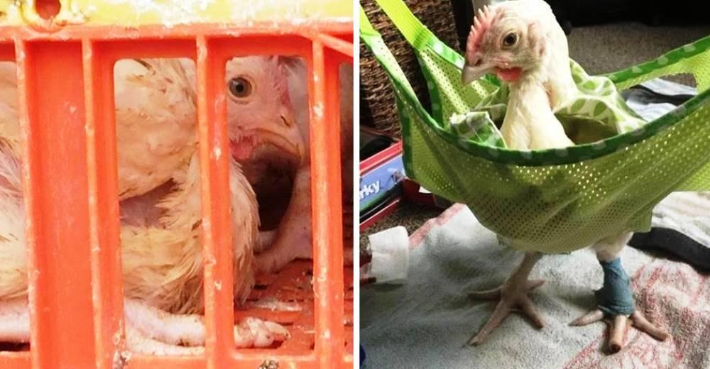 pollo-estaba-a-punto-de-ser-sacrificado-portada