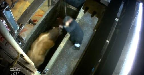 vacas-matadero-frances-6