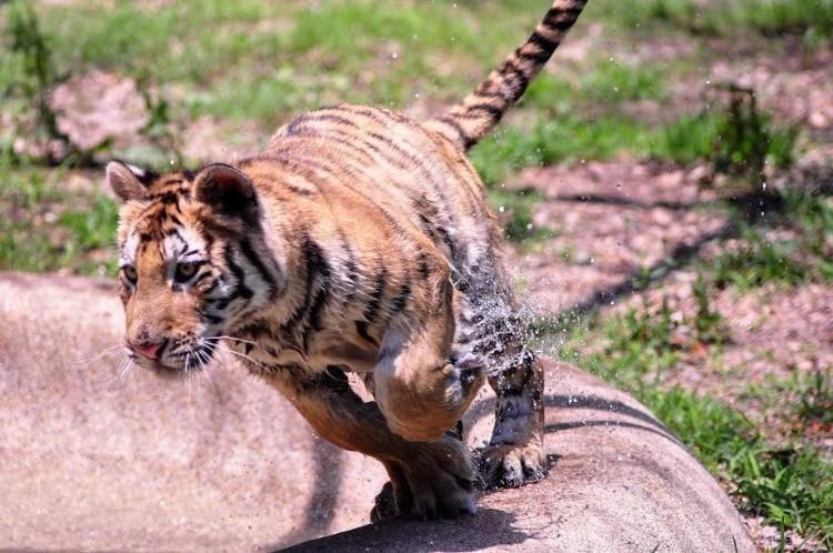 aasha-tigresa-recupera-salud-02