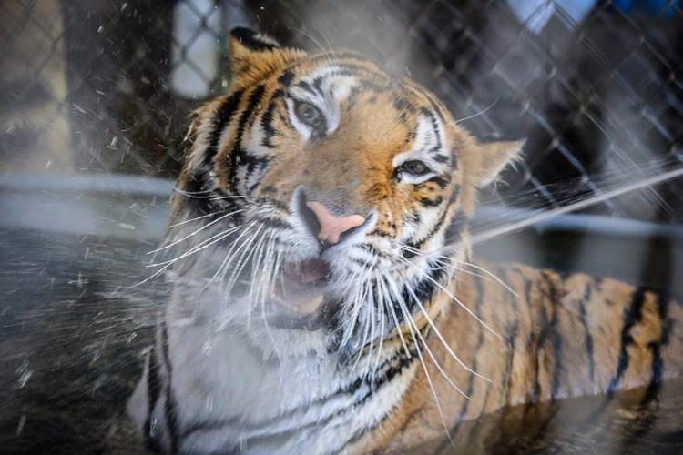 aasha-tigresa-recupera-salud-03