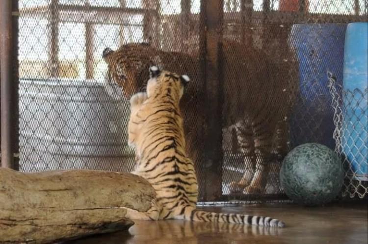 aasha-tigresa-recupera-salud-06