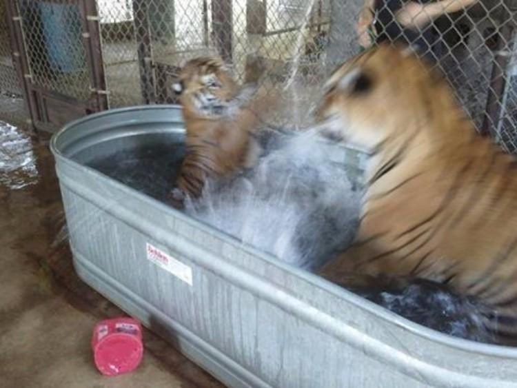 aasha-tigresa-recupera-salud-07