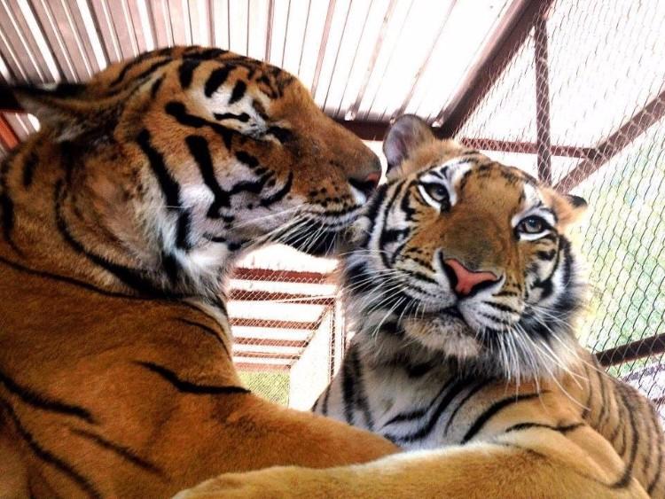 aasha-tigresa-recupera-salud-08