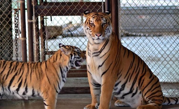 aasha-tigresa-recupera-salud-09