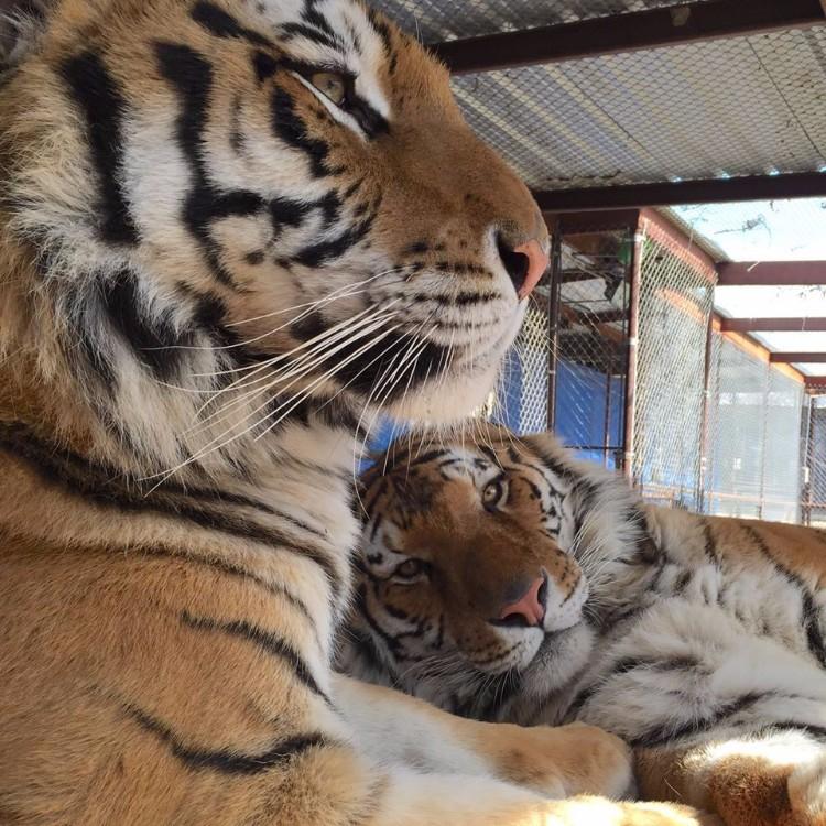 aasha-tigresa-recupera-salud-10
