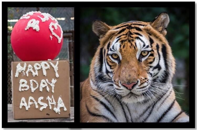 aasha-tigresa-recupera-salud-16