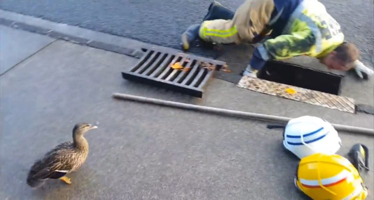bomberos-rescatan-patitos-atrapados-en-el-desague-reuniendolos-con-su-madre-1