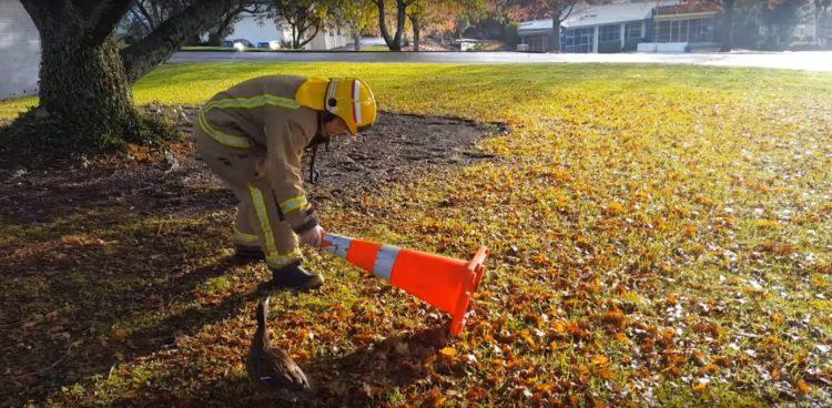 bomberos-rescatan-patitos-atrapados-en-el-desague-reuniendolos-con-su-madre-5