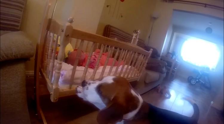 charlie-beagle-acuna-bebe-01