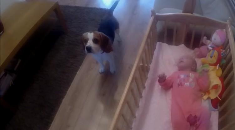charlie-beagle-acuna-bebe-02