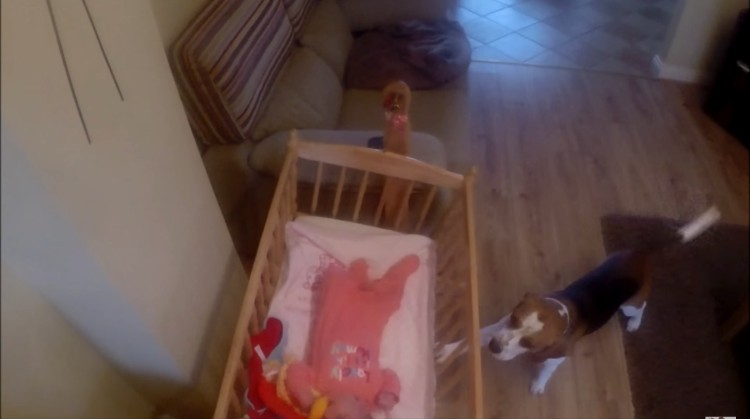 charlie-beagle-acuna-bebe-03