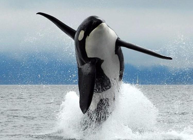 j2-granny-orca-09