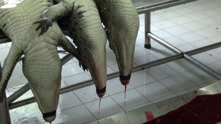 cocodrilos-pieles-bolsos-realidad6