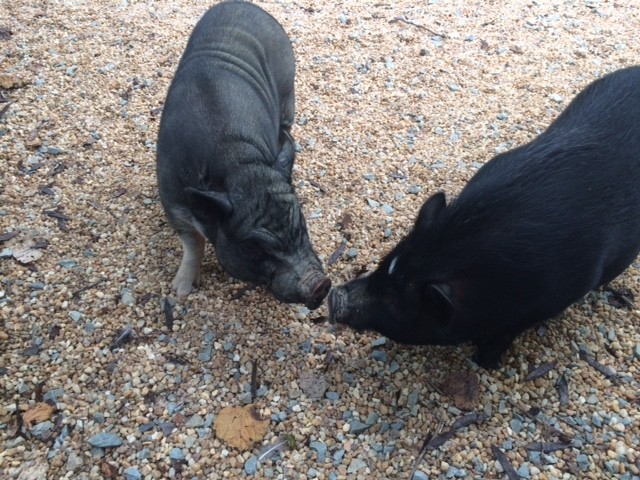 hermanos-cerdos-13