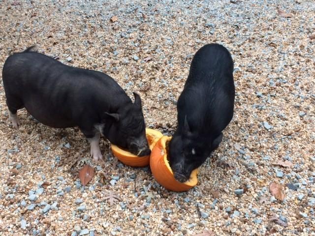 hermanos-cerdos-16