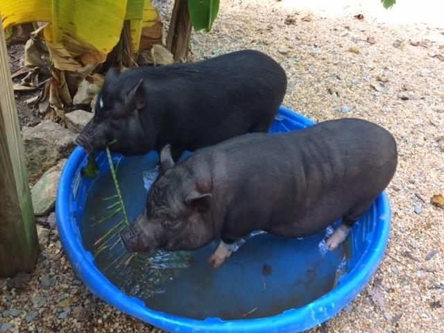 hermanos-cerdos-17