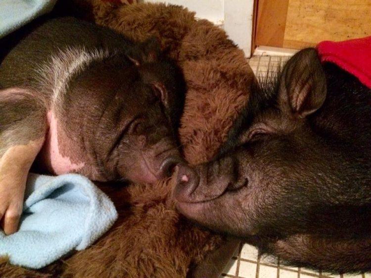 hermanos-cerdos-18