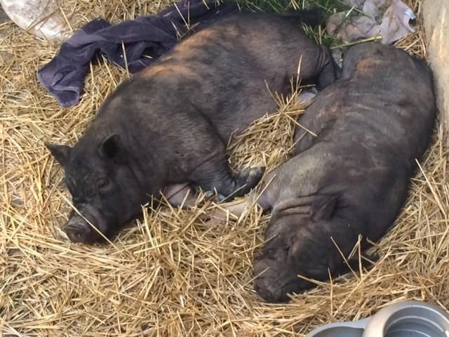 hermanos-cerdos-2