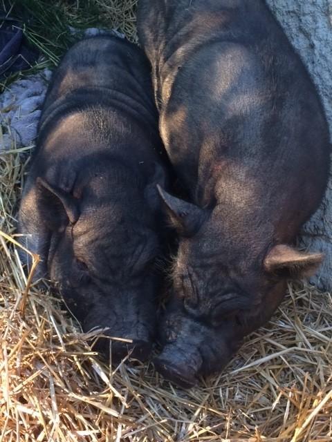 hermanos-cerdos-3