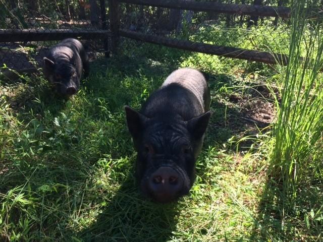 hermanos-cerdos-5