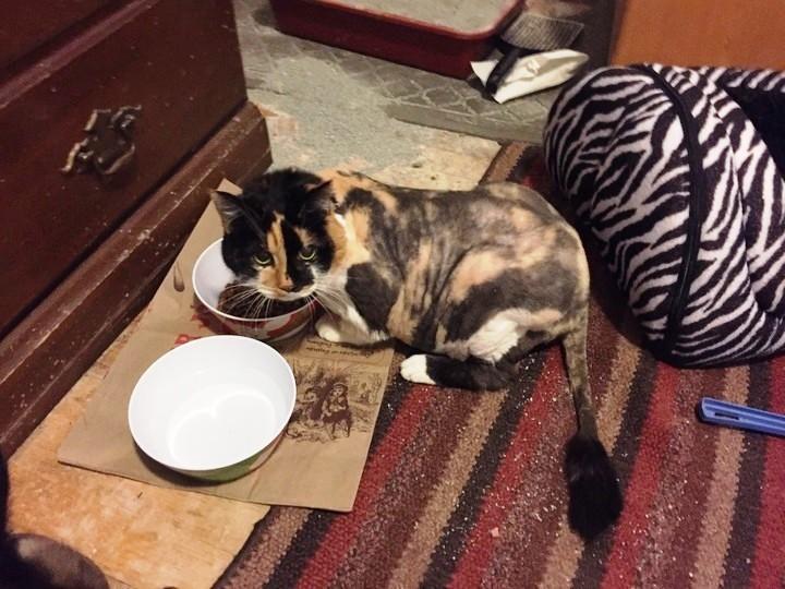 gato-con-rastra-pierde-peso-5