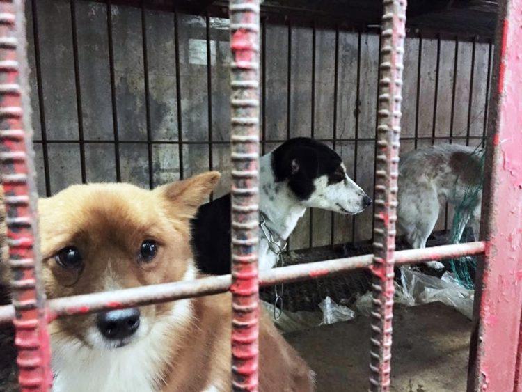 marc-ching-hombre-lucha-contra-maltrato-perros-asia-27