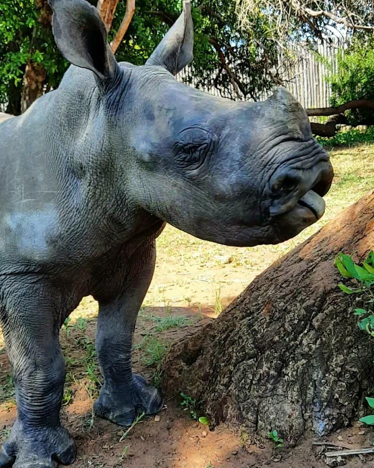 nandi-rinoceronte-rescatado-jamie-cuidadora-07
