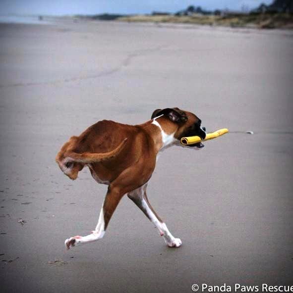 perrito-sin-patas-traseras-7