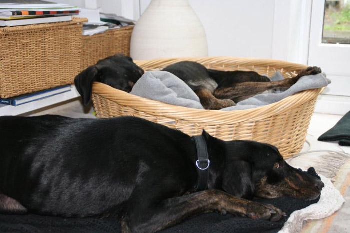 perros-crecen-juntos-los-separan-luego-el-destino-los-une-en-el-mismo-hogar-7