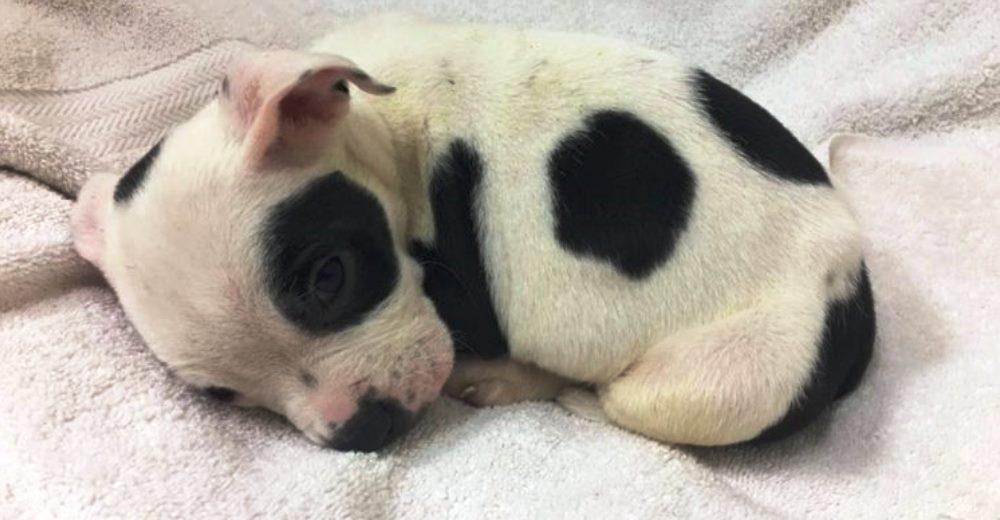 Abandonan a un pitbull bebé en medio del frío por ser diferente, se arrastraba