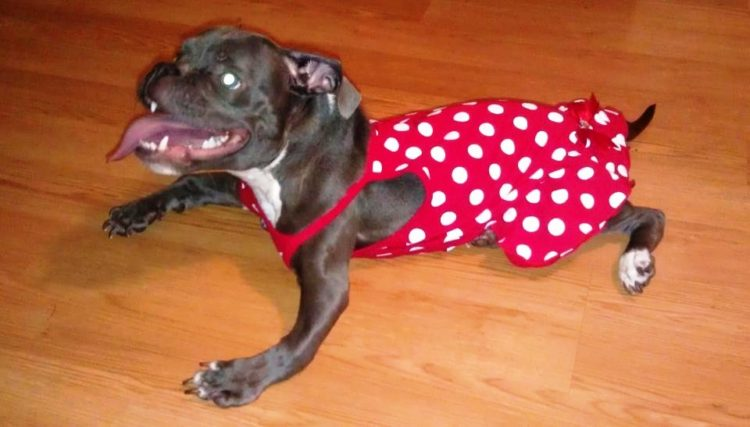 pit-bull-con-enanismo-6