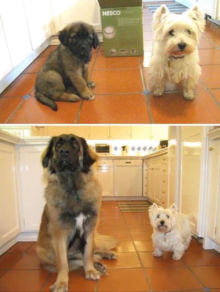 mascotas-crecimiento-antes-y-despues14