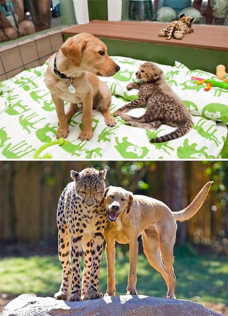 mascotas-crecimiento-antes-y-despues9