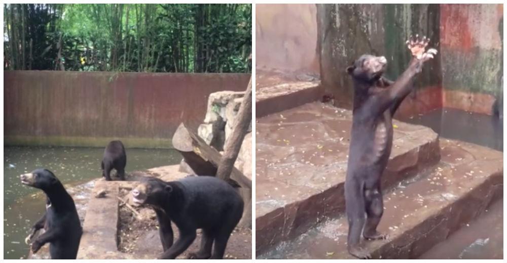 Graban a unos pobres osos de un zoo sobreviviendo en medio del hambre y la desesperación
